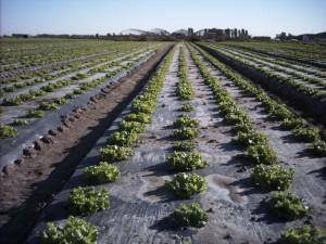 BioBag AgFilm in use for lettuce